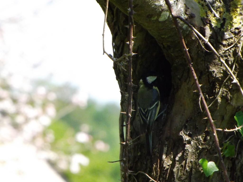 Mésange charbonnière à l'entrée du nid