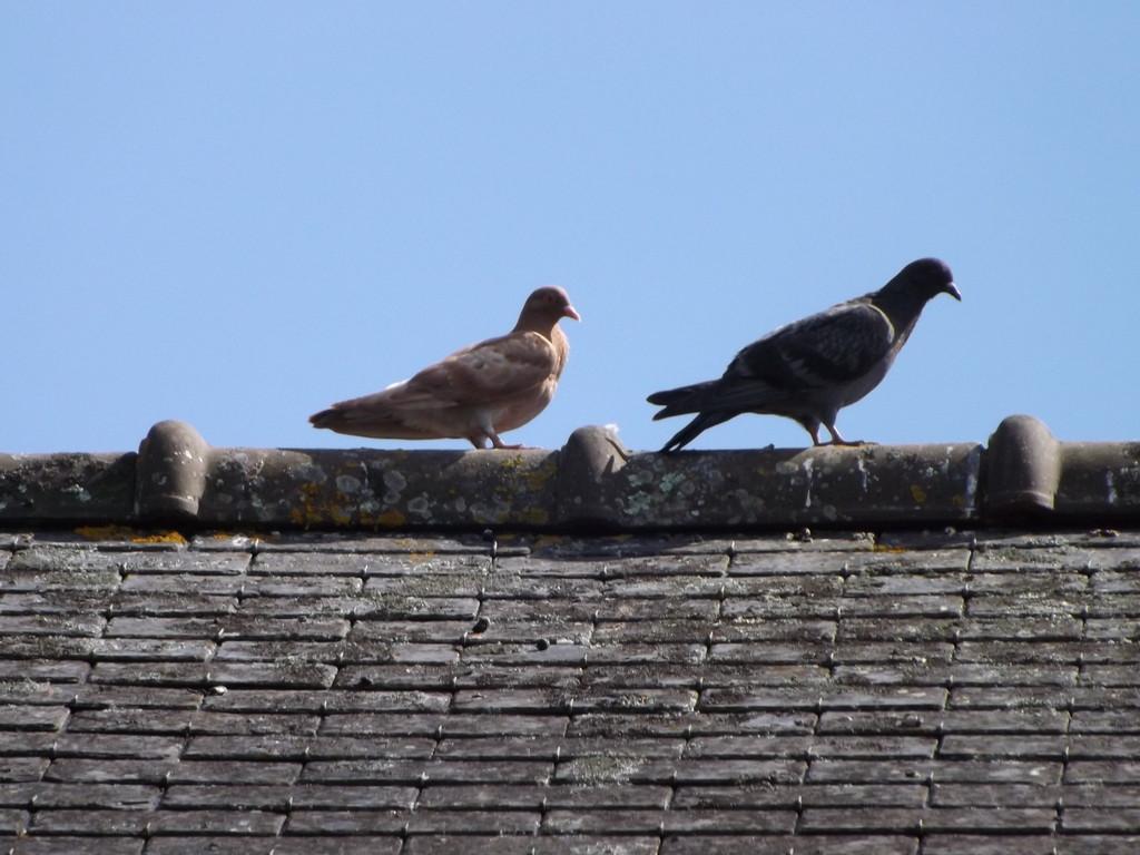 Pigeon Bizet de ville