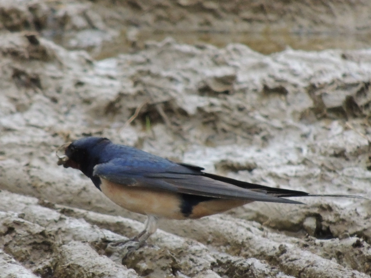 Hirondelle rustique prenant de la boue pour son nid