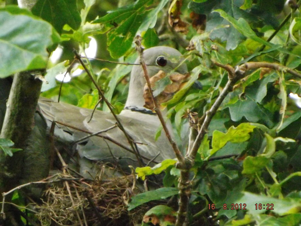 Tourterelle turque au nid