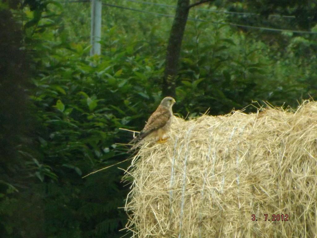 Jeune faucon ,vient de sortir du nid
