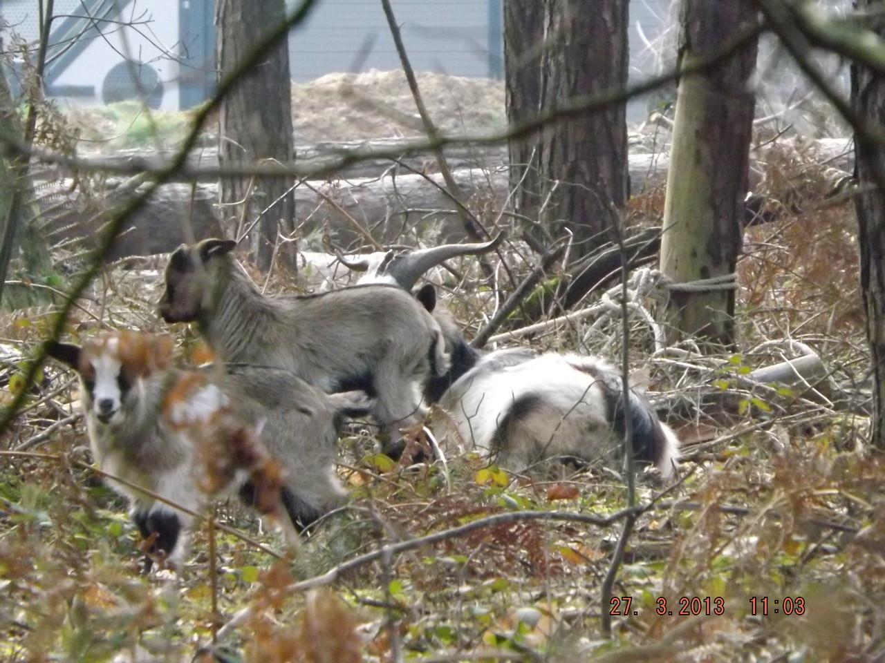 Chèvre de Rove et ses petits