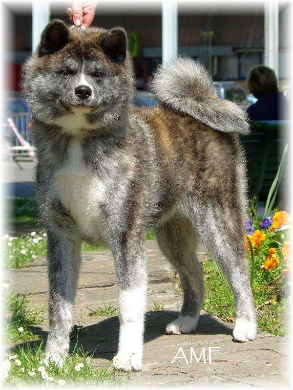 Torahana, femelle Akita Inu bringée, exposition international, Meilleur Puppy