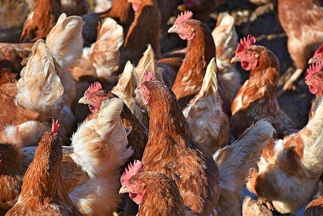 Vogelgrippe in Legehennenbetrieb