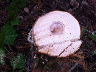 木の年齢当てクイズ・さあ何歳くらいの木だろうね?