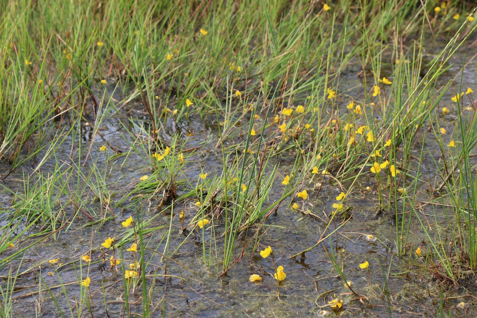 Der gelbblühende Wasserschlauch gehört zu den carnivoren (fleischfressenden) Pflanzen. Er fängt kleine Wasserflöhe (Foto: C. Marien)