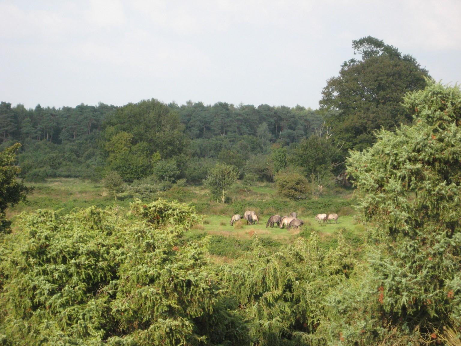 Rückzüchtungen des Wildpferdes Tarpan beweiden des NSG (Foto: C. Marien)
