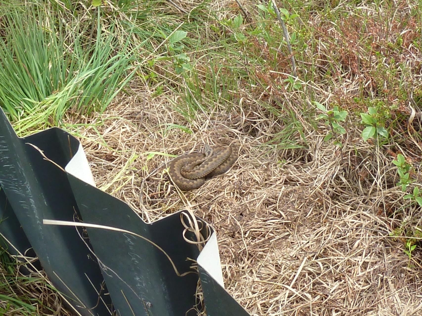 weibliche Kreuzotter unter einem Schlangenblech