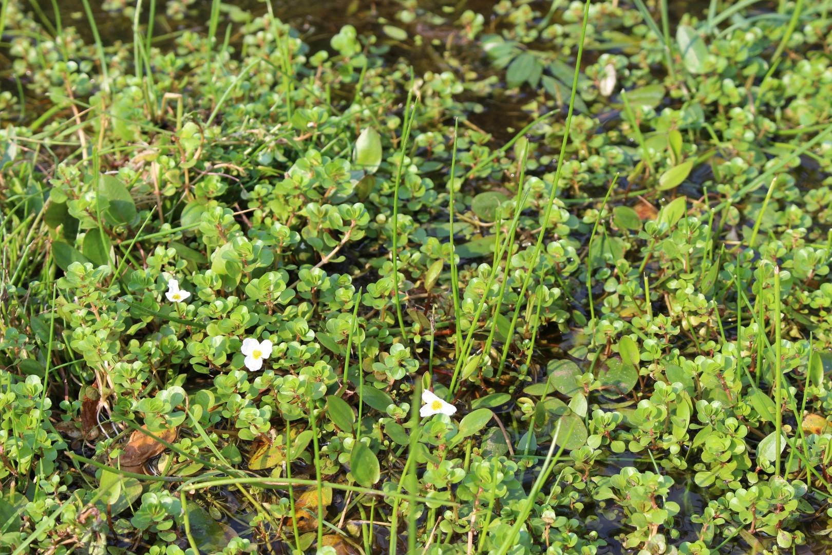 In den nährstoffarmen Gewässern wächst das weißblühende Froschkraut. Die Art ist sehr selten. (Foto: C. Marien)