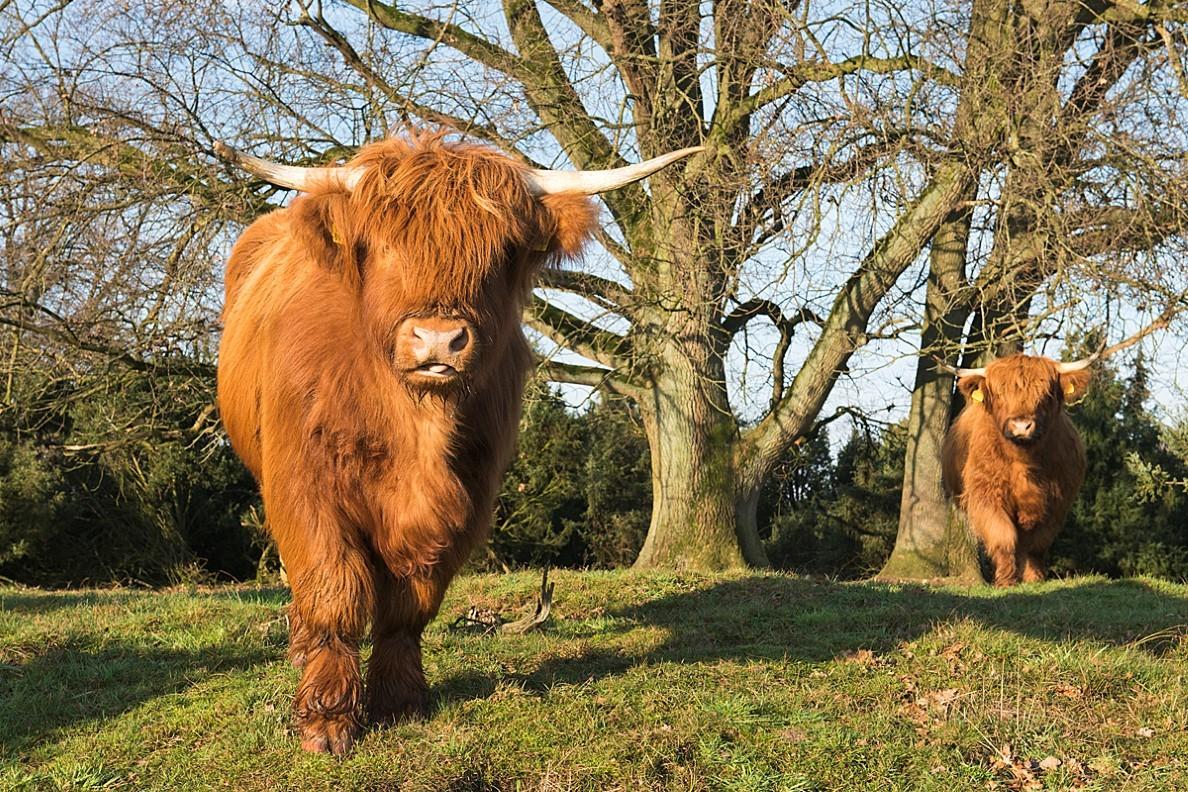 Schottische Hochlandrinder haben in der Vergangenheit das Gebiet beweidet (Foto: E. Nerger)