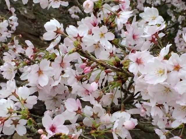 桜を愛でながら日本人でよかったと思う瞬間