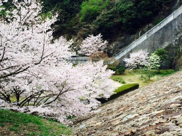 岡山の桜は満開です!