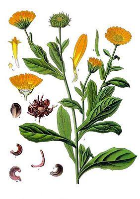 Ringelblume, Calendula officinalis, Blüten, Blätter, Samen