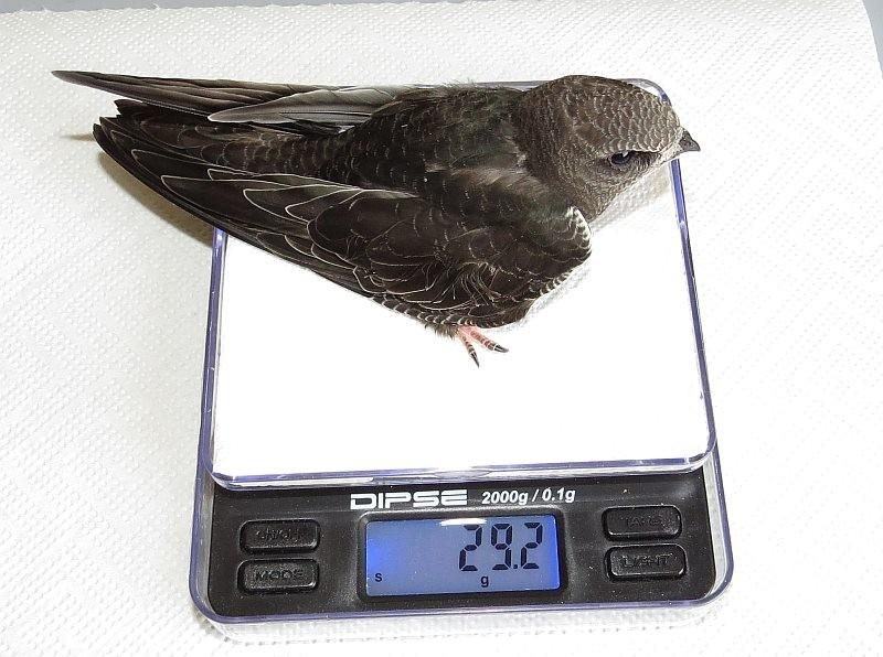 Dieser kleine Segler ist etwas mager und sollte in dem Alter wenigstens 35 Gramm wiegen. Er bleibt in menschlicher Obhut