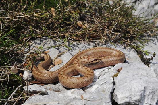Die Schlingnatter (Coronella austriaca) ist das Reptil des Jahres 2013. Foto: DGHT/Benny Trapp