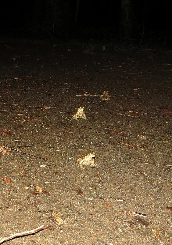 Erdkröten auf Wanderschaft zum Laichgewässer. </p>Foto: Karsten Peterlein