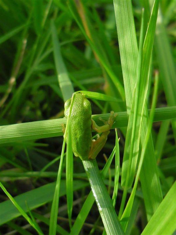 Im Sommer wimmelt es auf ufernahen Flächen von der Nachkommenschaft, der Amphibien. Man kann winzige, junge Frösche beobachten, wie diesen rund 15 Millimeter kleinen Laubfrosch (<i>Hyla arborea</i>).</p>Foto: René Sievert