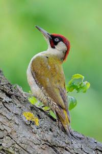 2014 war der Grünspecht Vogel des Jahres. Der NABU hatte alle Leipziger gebeten, jede Grünspechtbeobachtung zu melden. Auf diese Weise wurden wertvolle Informationen über die Lebensräume dieses Vogels gesammelt. Foto: NABU/Peter Kühn
