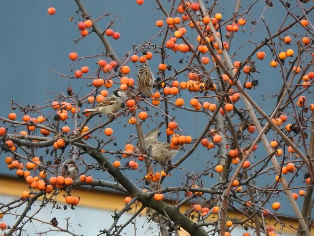 Auch die Spatzen nutzen Früchte und Samen.</p>Foto: Beatrice Jeschke