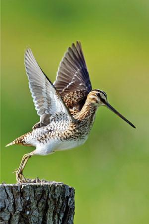 Vogel des Jahres 2013: Die Bekassine. Foto: NABU / W. Rolfes