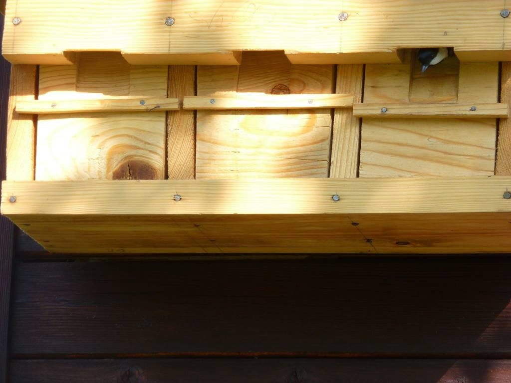 Im Koloniekasten für Sperlinge hat sich eine Kohlmeise eingemietet.