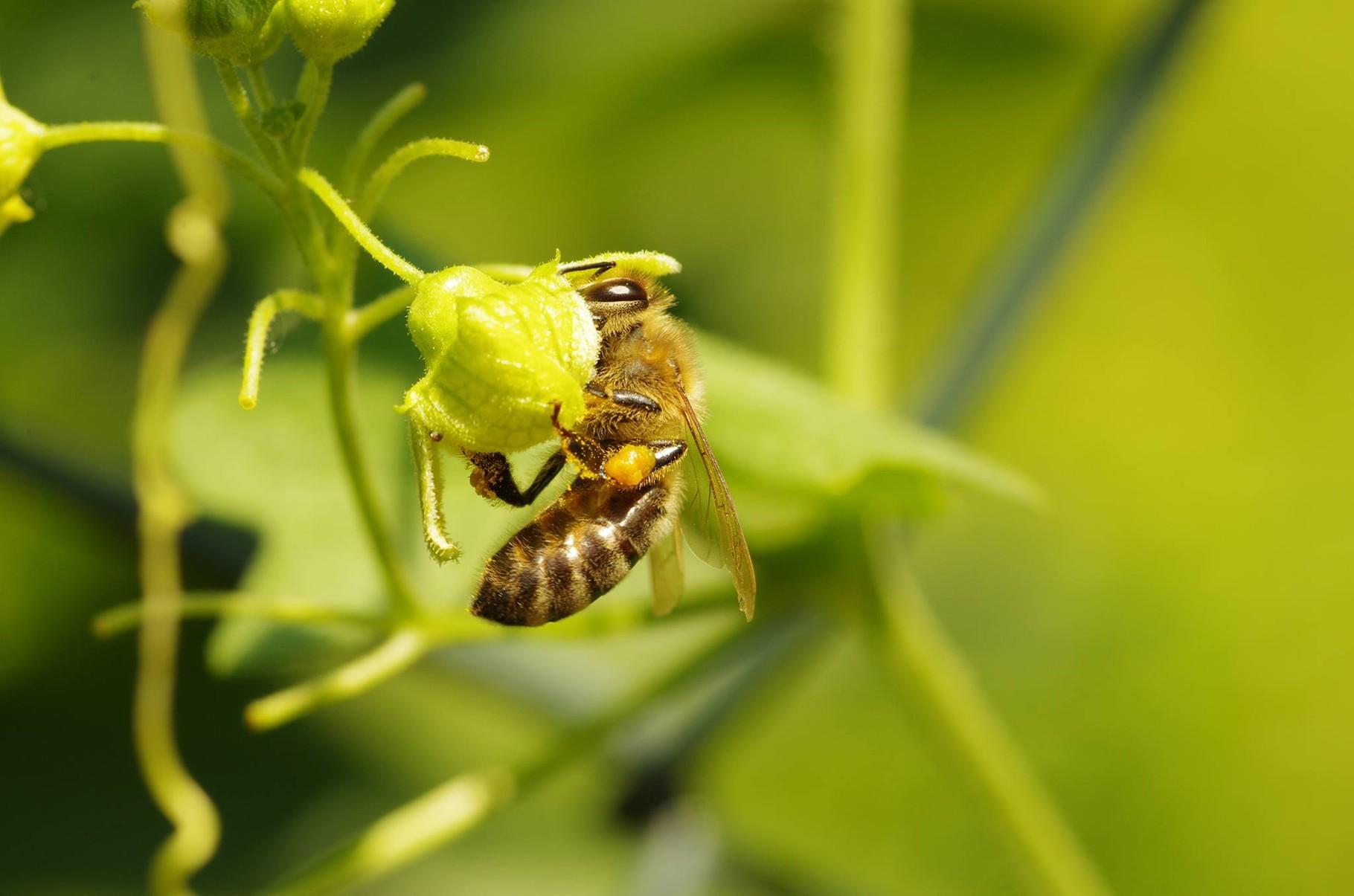 Eine Honigbiene im NAJU-Garten.