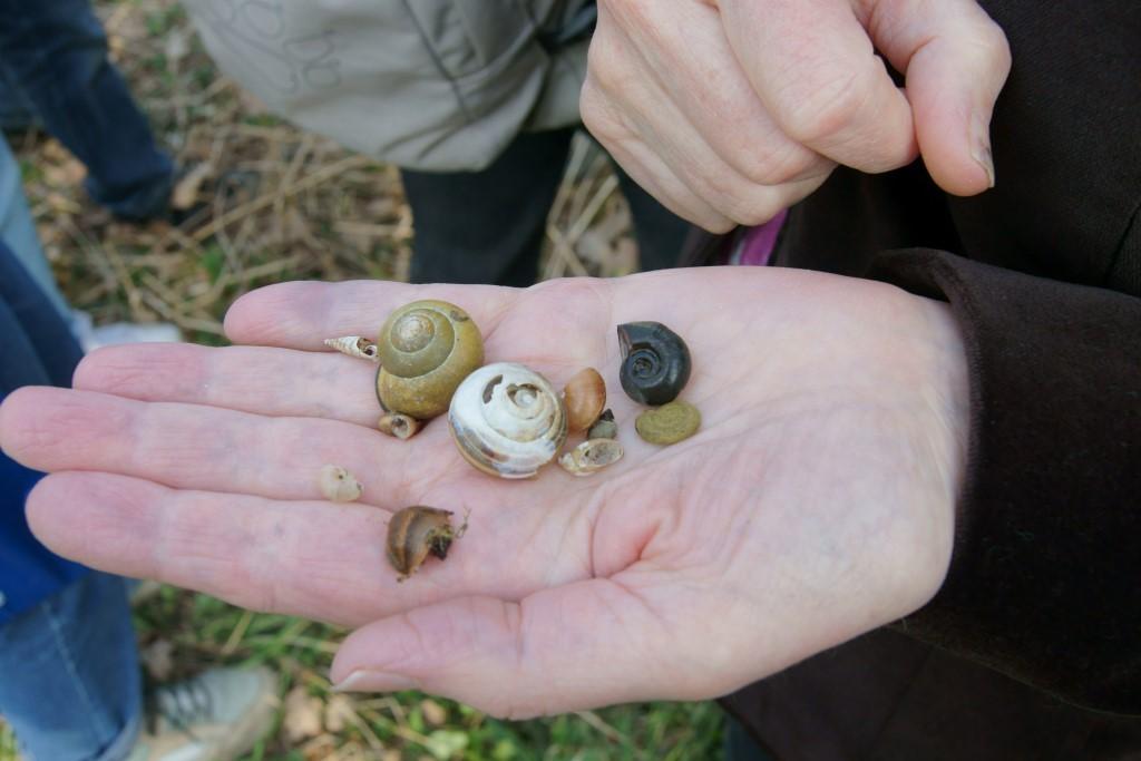 Es gibt viele verschieden gestaltete Schneckengehäuse, doch oft reichen diese Merkmale nicht aus, um die jeweilige Schneckenart sicher zu bestimmen - eine große Tier-Vielfalt konnte man bei der Auwaldexkursion entdecken. Foto: René Sievert