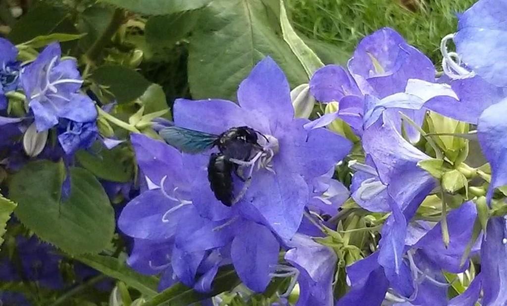 Blaue Holzbiene<p>Foto: Heike Wittig