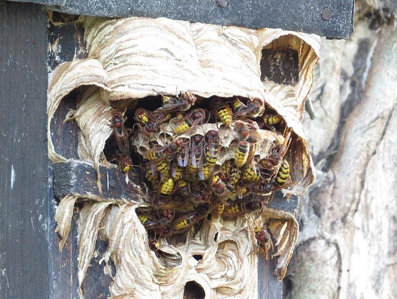 Viele Hornisen bauen außerhalb des Einluglochs am Nistkasten.