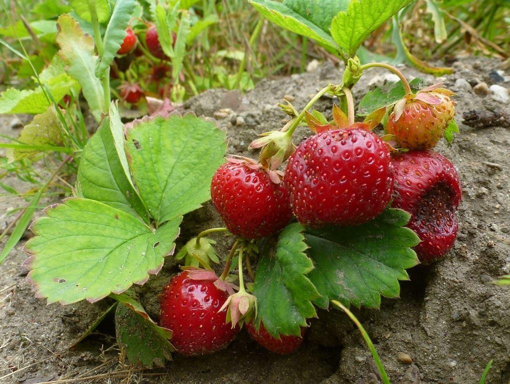 Die überreifen Erdbeeren mussten schnell gefuttert werden.