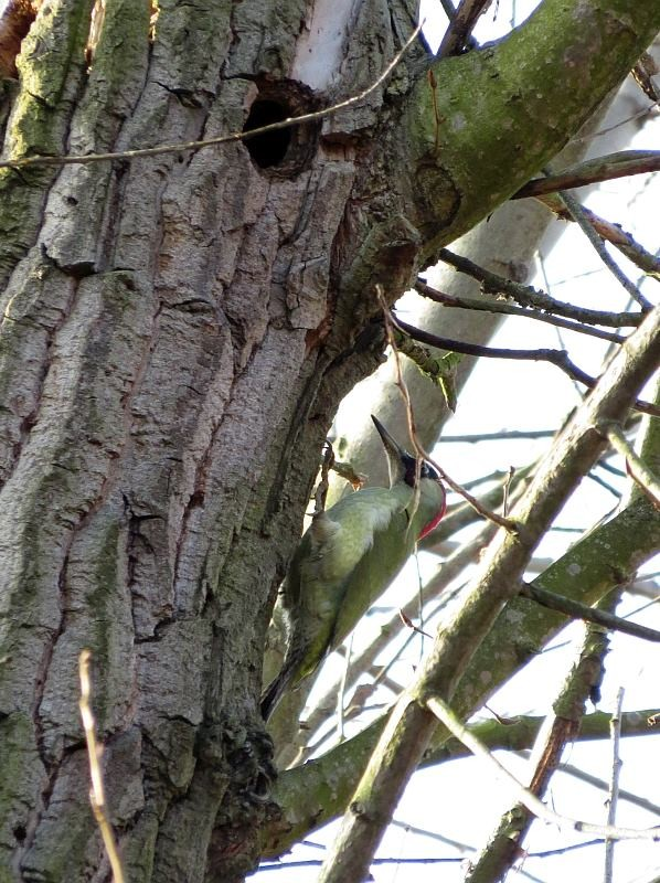 Der Grünspecht, Vogel des Jahres 2014, hat sich auf dem Friedhof Kleinzschocher auch nochmal gezeigt.</p>Foto: NABU Leipzig