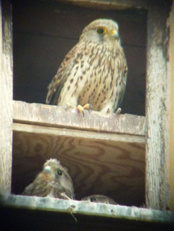 in Turmfalke und zwei Jungvögel in einer Nisthilfe an der Sommerfelder Kirche. Foto: Karsten Peterlein