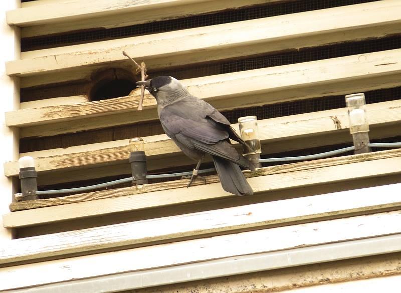 Mit Baumaterial werden die Nester für die Eiablage ausgepolstert.