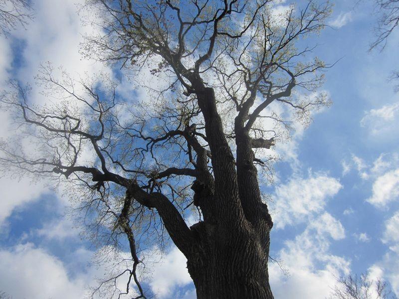 Blick in die Krone des Baumes.