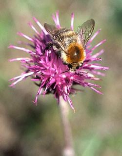 Bienen bestäuben etwa 80 Prozent aller Wild- und Nutzpflanzen. Foto: NABU/Helge May