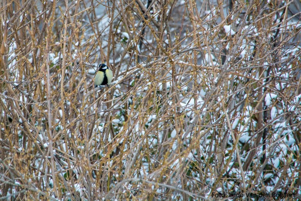 Auch andere Vögel, wie diese Kohlmeise, sind auf die Sträucher angewiesen.