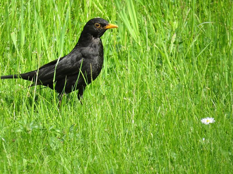Allgegenwärtig sind die Amseln, die zu den häufigsten Vögel in der Stadt gehören.