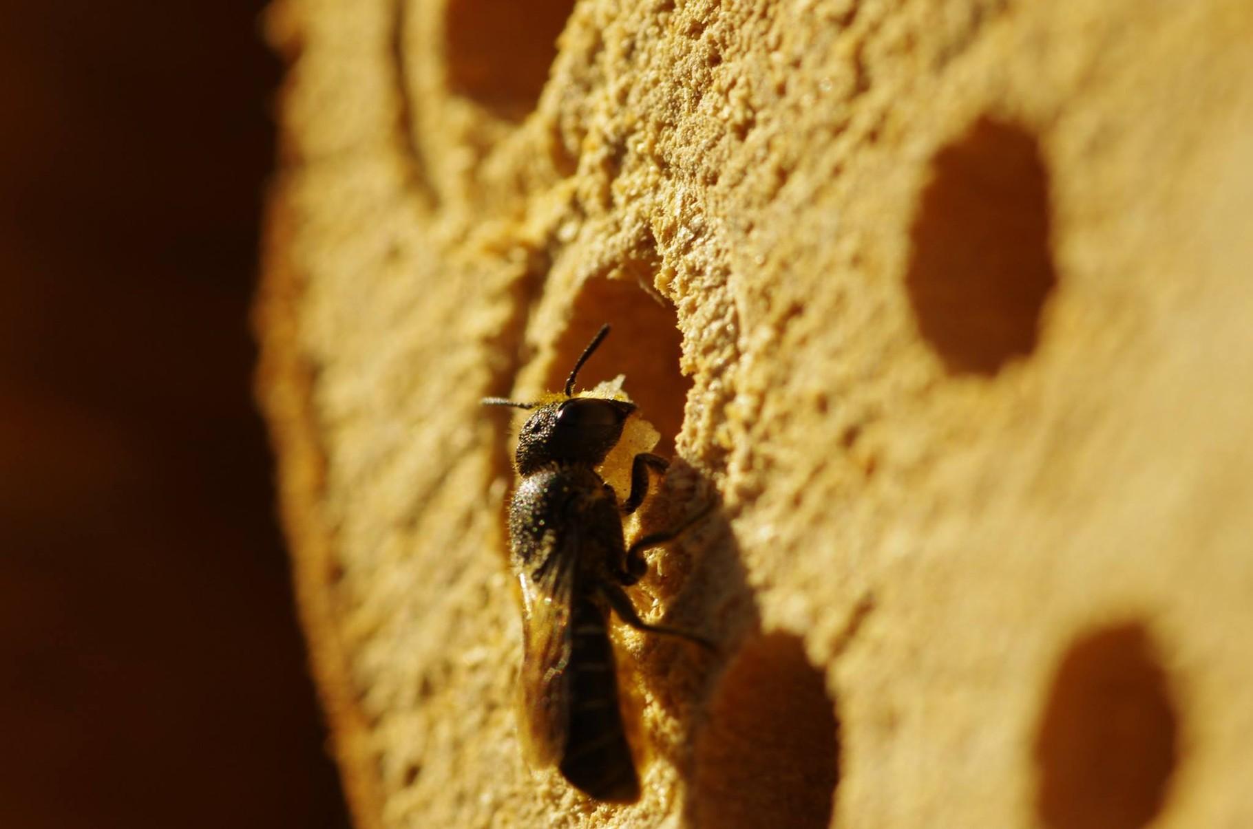 Hier trägt die Biene gerade frisches Harz ein, mit dem sie die Brutzellen verschließt.