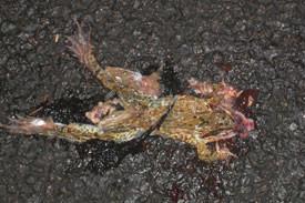 Auf der jährlichen Wanderung zum Laichge-wässer ist der Straßenverkehr für Amphibien eine tödliche Bedrohung. Dieser Grasfrosch hat es nicht geschafft und wurde überrollt. Fotos: Mario Vormbaum