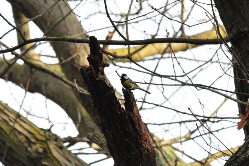Zu den häufigsten Vögeln auf dem Südfriedhof zählt die Kohlmeise.
