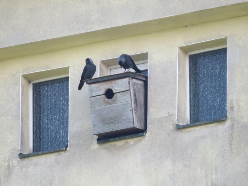 Dohlenpaar am Wasserturm Borsdorf