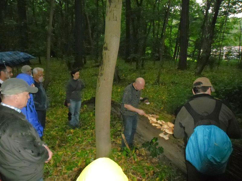 Dr. Otto führt die Exkursionsteilnehmer zu einem Baumstamm an dem der Schwefelporling (Laetiporus sulfureus) wächst.<p/>Foto: René Sievert