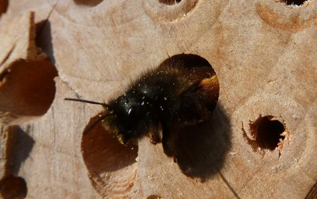 Es ist wieder soweit: jede Menge Bienen bevölkern nun die Insektenkästen in unserem Garten und befüllen fleißig die Röhren.