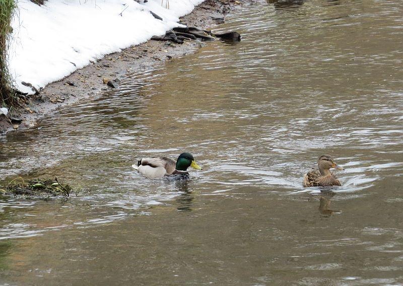 Enten, Blässrallen und Schwäne ziehen bei Frost an offene Gewässer weiter. In Leipzig weichen die Wasservögel den zugefrohrenen Teichen aus und leben dann beispielsweise an Luppe, Elster oder Parthe. Eine Fütterung dieser Tiere ist nicht notwendig!