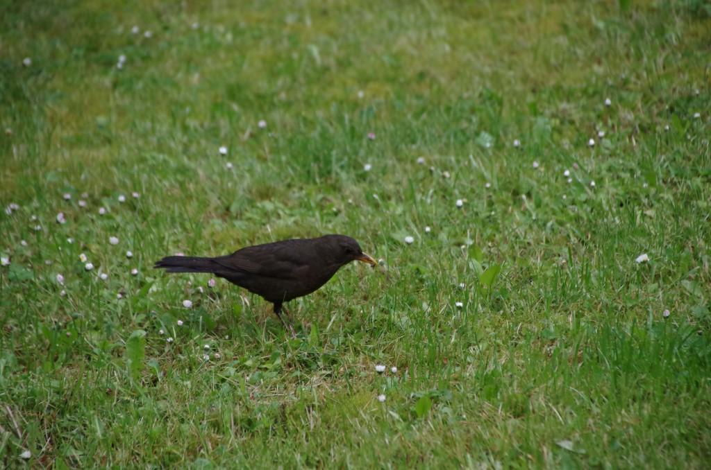 Die Amsel ist auf dem Südfriedhof der häufigste Brutvogel.
