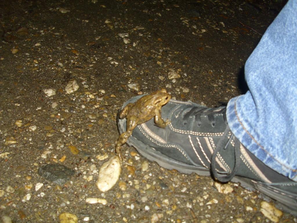 Diese Kröte reist auf Schusters Rappen. </p>Foto: Carola Bodsch