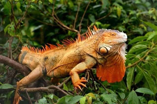 Der Grüne Leguan (Iguana iguana) ist, anders als sein deutscher Name suggeriert, nicht immer grün. Es gibt auch mehr gräuliche oder rötliche Exemplare. Foto: Dr. Rainer Hoyer
