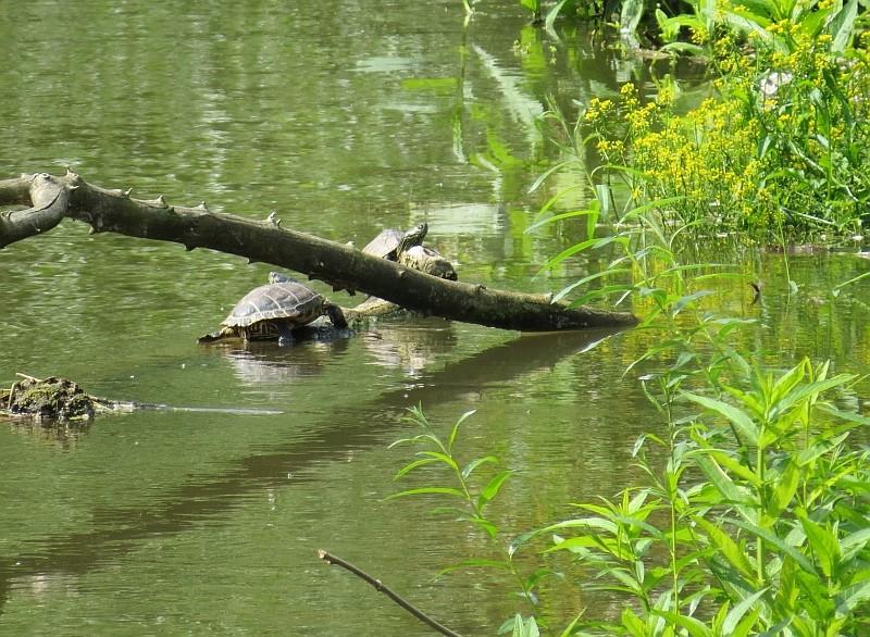 Am Ufer der Weißen Elster konnten Gelbwangenschmuckschildkröten beobachtet werden, die vermutlich von rücksichtslosen Haustierhaltern ausgesetzt wurden.