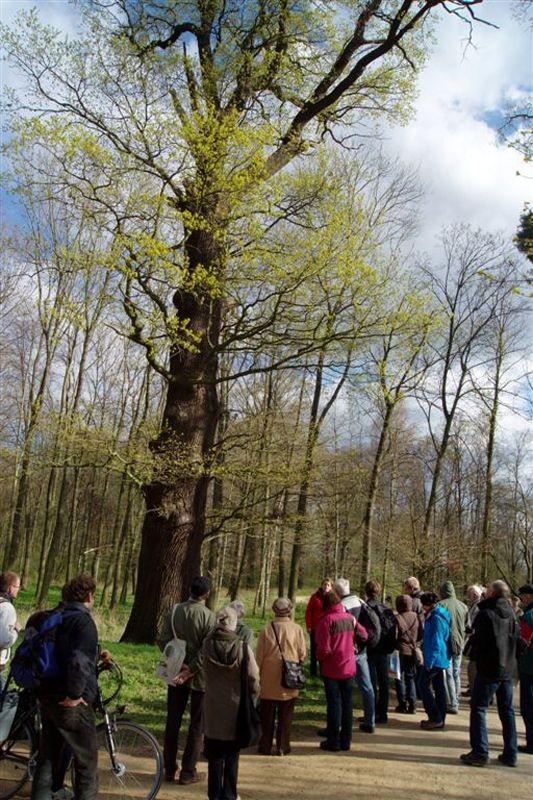 Eine beeindruckende Stiel-Eiche (Quercus robur).