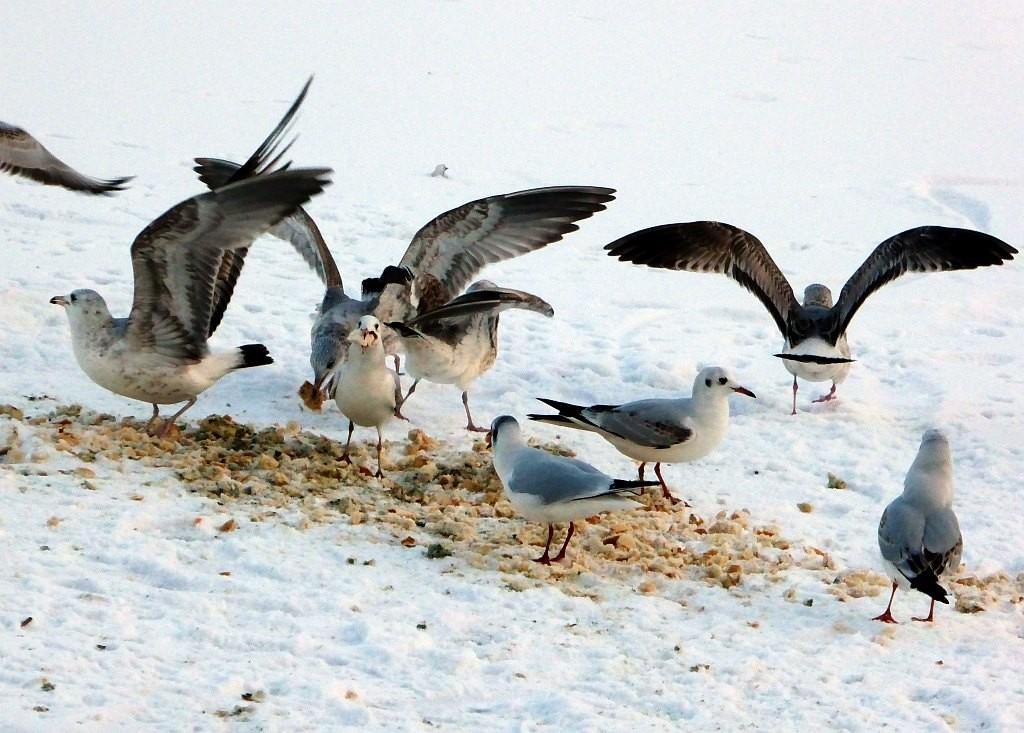 Lachmöwen am Silbersee fressen das Brot und gefährden damit ihre Gesundheit.